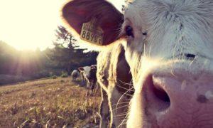 Kuh steht auf der Wiese und guckt direkt in die Kamera